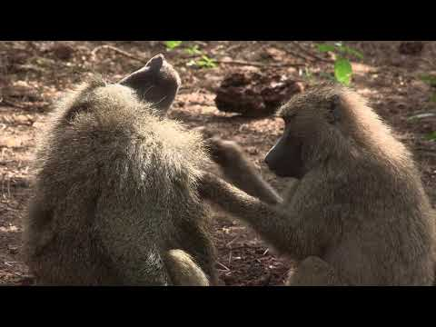 Two olive baboons (Papio anubis) mutual grooming, Lake Manyara NP, Tanzania.