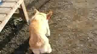 Puppy / コーギー いっぱい 20070415 Welsh Corgi