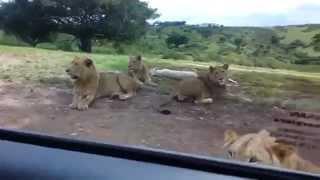 Sư tử mở cửa xe của du khách