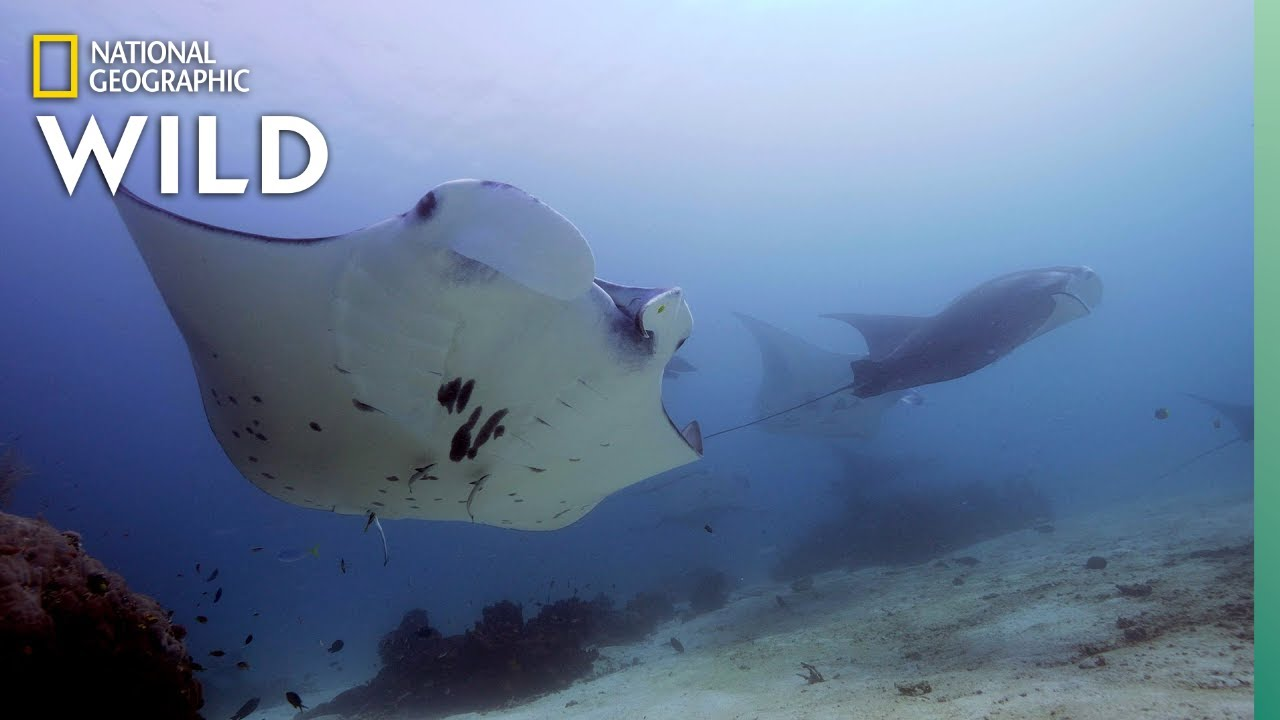 The Social Lives of Manta Rays | Nat Geo Wild