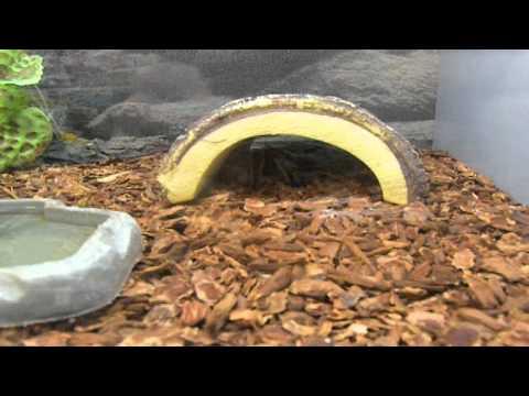Reptile of the day Ep.4 Tarantula
