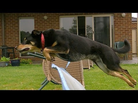 Dog Jumping In Epic Slow Motion [HD]