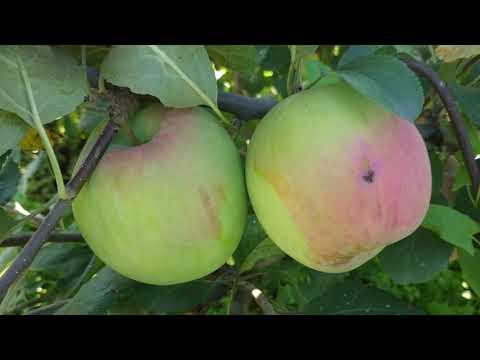 Сибирские яблоки 2019г. Проверенные сорта яблонь для Сибири.