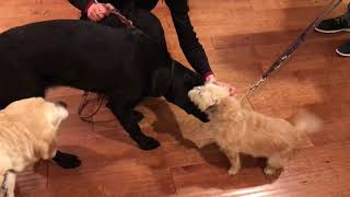 Guide dog Arabella is home! Antonia and Lily get to meet their new sister!