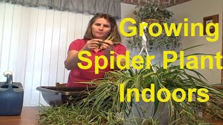 How to Grow Variegated Milky Way Spider Plant  - An Easy Houseplant