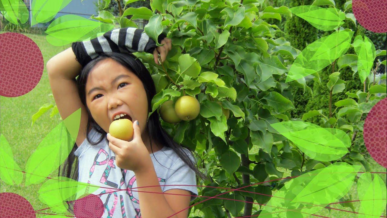 dwarf japanese shinko pears backyard organic fruit trees garden
