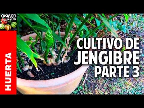 Como cuidar del jengibre en invierno. Cultivo en maceta - Parte 3 @cosasdeljardin