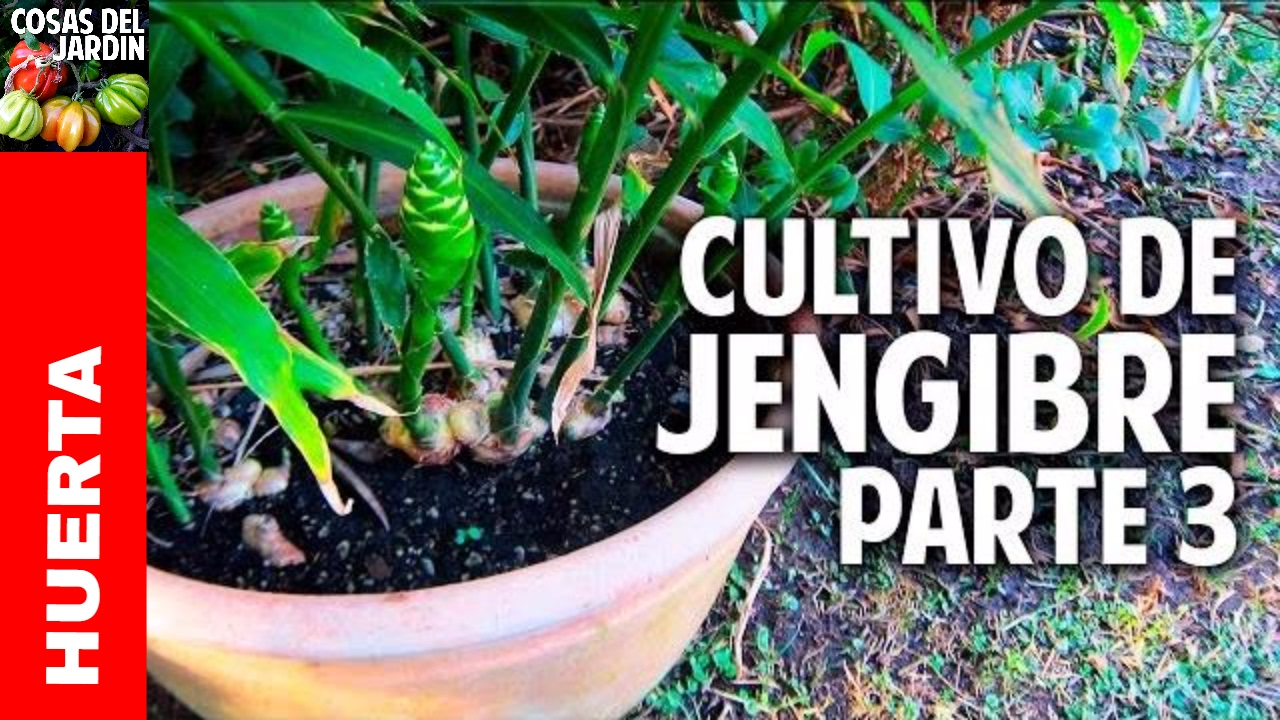 Cultivo del jengibre fotos 20