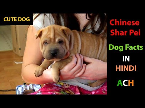 Chinese Shar Pei Facts In HINDI : Popular Dogs : ACH : Animal Channel Hindi