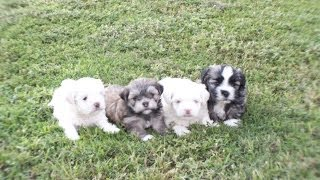 Lhasatese, Puppies, For, Sale, In, Little Rock, Arkansas, Ar, Russellville, Jacksonville, Sherwood,