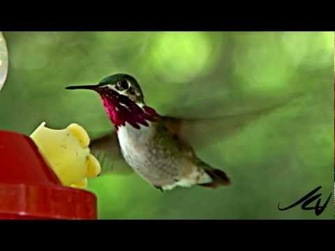 Hummingbirds - YouTube HD