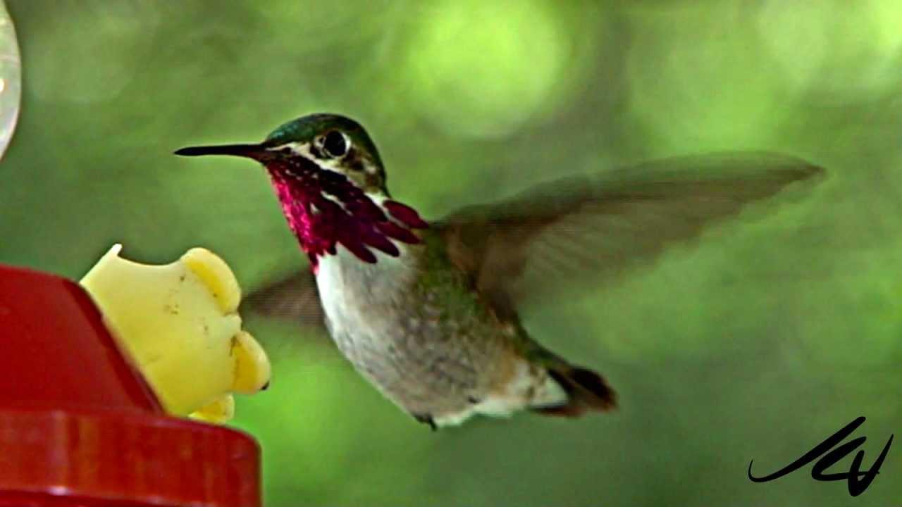 Hummingbirds - YouTube HD