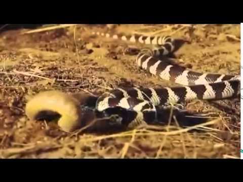 Змеи жрут друг друга  Жесть
