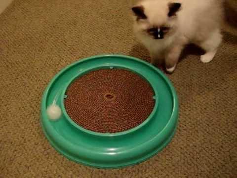 What is a Ragdoll Kitten Like? - ラグドール - Floppycats