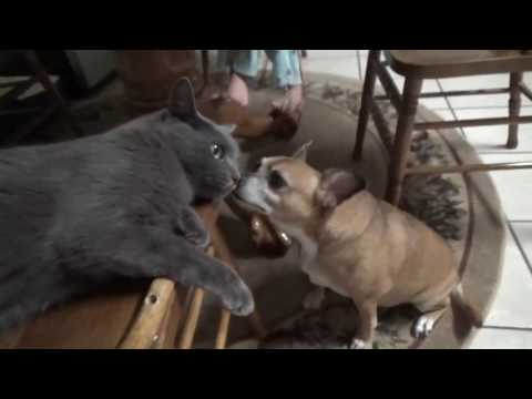 Grumpy Russian Blue Cat and Friendly Chihuahua Dog