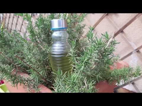 Liquore al rosmarino - Antica ricetta (Rosmanello)