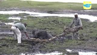 2 Heros  Rescuing an Baby Elephant Stuck in Mud