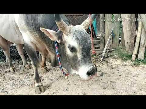Mus Saib Tij Laug Yeej Koob Yaj Tus Nyuj Nrau Zoo Txwaj Kub 21-5-2020