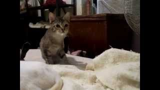 Pebbles tries to eat a blanket