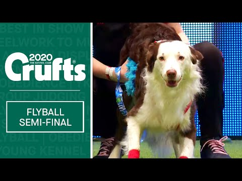 Flyball  Semi Finals | Crufts 2020