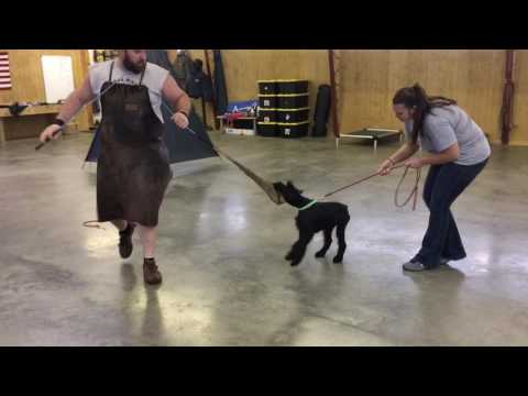 "Giant Schnauzer Puppy ""Helo"" 18 Wk Early Protection Development For Sale"