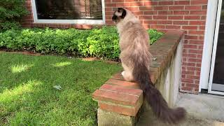 Why Caymus is My Favorite Living Ragdoll Cat