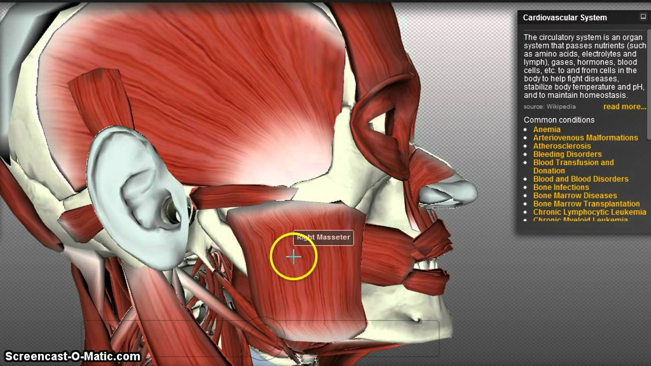 Muscles of Mastication - YouTube
