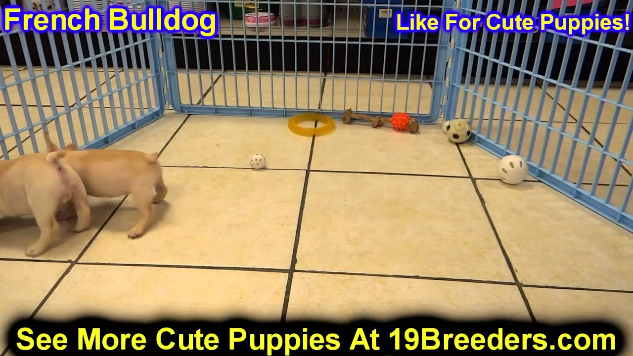 French Bulldog, Puppies, For, Sale, In, Edmond, Oklahoma ...