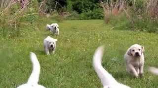 Beautiful Labrador Retriever Puppies In Slo Mo