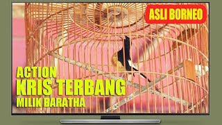 Tersanjung Melihat Aksi Borneo Asli KRIS TERBANG Milik Baratha Di LatBer Pimpinan