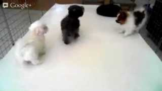 Teacup Maltipoo, Maltese & Pomeranian Puppies For Sale In Los Angeles Ca