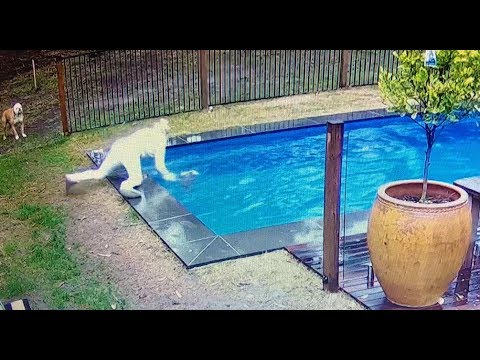 CCTV FOOTAGE FILMS BULLDOG PUPPY NEARLY DROWNING