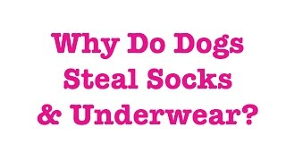 Why Do Dogs Steal Socks & Underwear