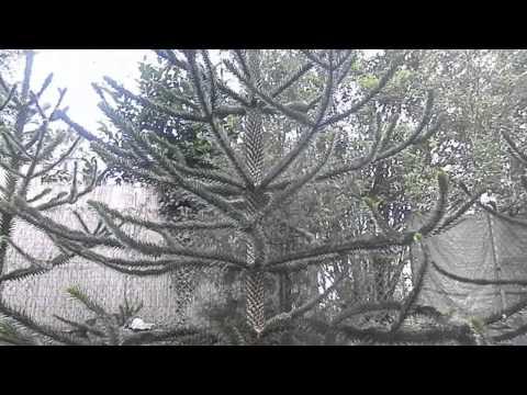 Čilska jelka (Araucaria araucana), Botanicni vrt Graz, Austria