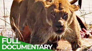 Swimming Lions | Free Documentary Nature