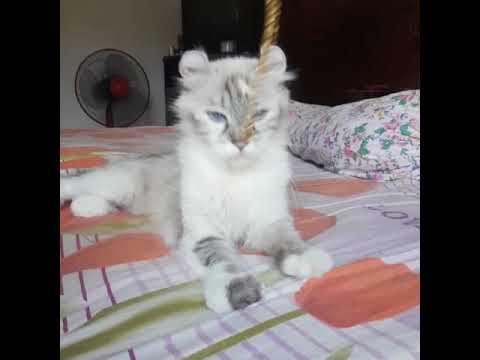 American Curl Cat For Adoption - 2 Years, ⚘ Meshira ⚘ ..