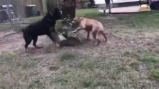 Pitbull Puppy Vs Adult German Rottweiler (dominance) NBF KENNEL