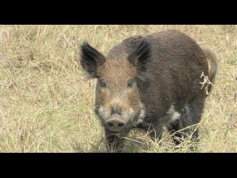 Feral Hogs Continue To Be Problem For Georgia Farmers