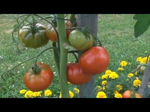 culture tomates de a à z veg mpeg4 HD