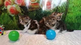 Котята экзотические