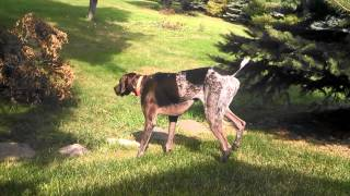 German Shorthair Pointer Named Benelli Finds And Points Some Mourning Doves In The Yard!