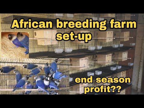 African Breeding Farm Setup Released Birds , End Season Profit ??