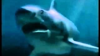 гребнистый крокодил против большо белой акулы