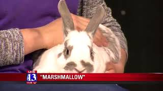 MARSHMALLOW - Fox 13 Best Friend from the Humane Society of Utah