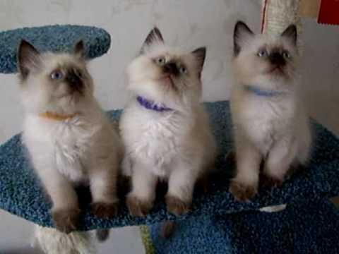 Невский маскарадный кот. Моему любимому мужчине Зиберту Данвел 3 .