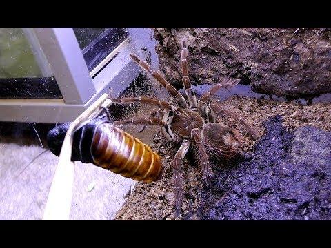 ゴライアスバードイーターに巨大ゴキブリを与えた結果…!