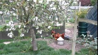 Poultry Chicken Mites