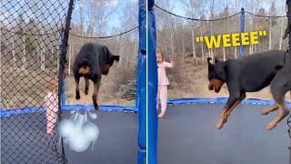 Happy Rottweiler Dog Jumping On Trampoline