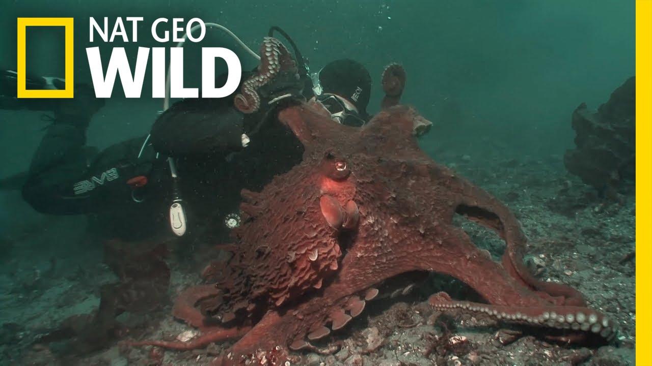 Octopus Hunting   Fish Tank Kings - YouTube