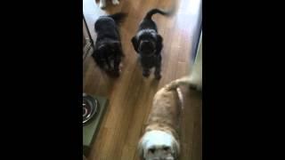 説明 ご飯を待つうちの4匹のワン達です。ダックス&ラサアプソ そして...